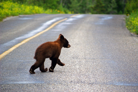 A young black bear crosses the highway in Waterton Lakes National Park, AB. / Photo: Saleh Ewan