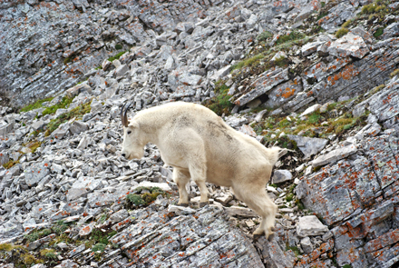 Sightings of mountain goats are not very common because they are usually only found at very high elevation. The author spotted this one on Crowsnest Mountain, in Crowsnest Pass, AB. / Photo: Ewan Saleh