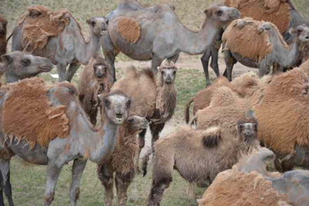 Mongolian camels keep a close eye on visitors passing through. / Photo: Ed Durgan