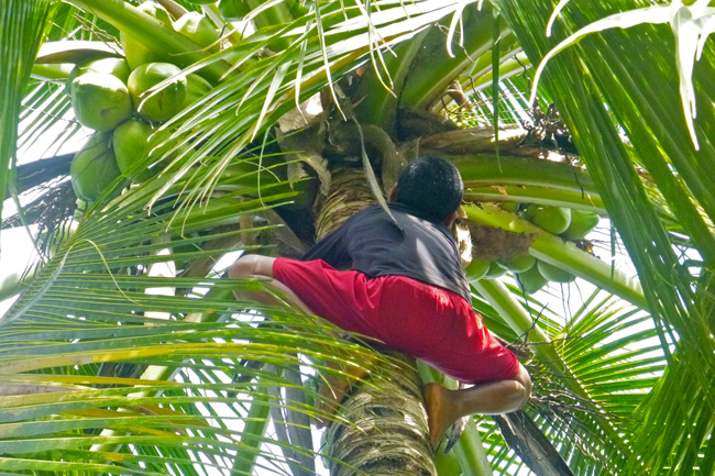 An Emberà boy shows his hospitality (and climbing skills), scurrying up a coconut tree with ease, throwing down a coconut for each his brother, mother, and both of his guests.
