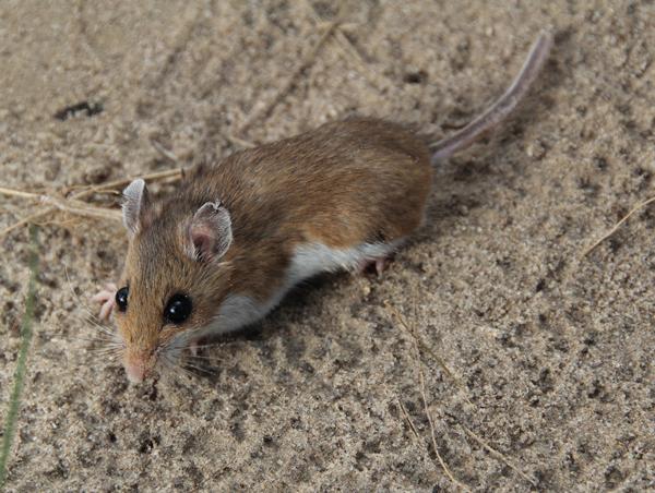 Mouse_Rown-Barrett