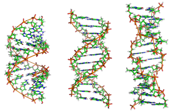 Various DNA structure. / Graphic by Zephyris at the English ;anguage Wikipedia