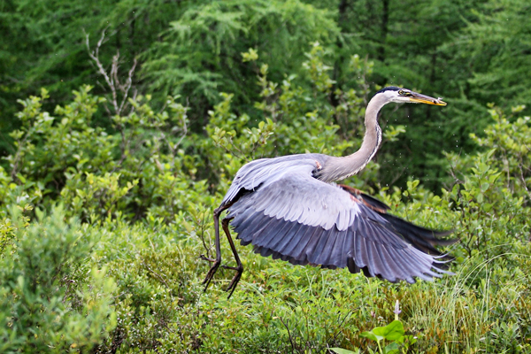 A heron caught in mid-meal somewhere in the Adirondacks. / Photo: Neale McDevitt