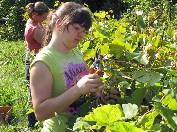 Nathalie Maheu récolte les raisins des vignes du campus Macdonald pour en faire du vin. / Photo : Caitlin MacDougall