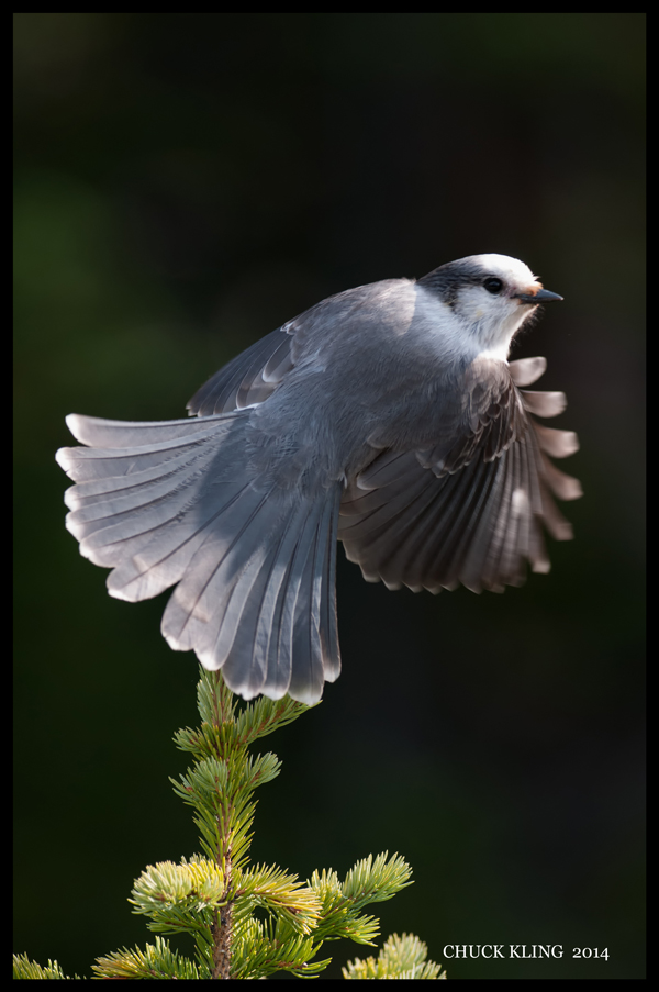 The gray jay is found in all 13 Canadian provinces and territories. / Photo: Chuck Kling
