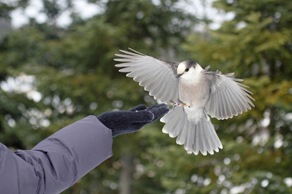 Gray jays are one of the few birds who will feed from people's hands in the wild. / Photo: Gord Belyea