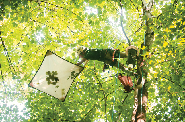 PhD student Dorothy Maguire collects insects in a tree canopy. / Photo: Alex Tran