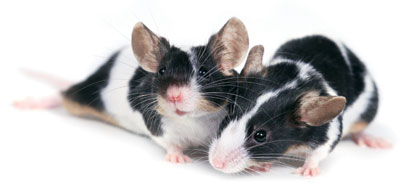 Like the rodents shown here, rats that are good moms can permanently change the way the genes of their offspring act, causing the pups to be calmer throughout adulthood, professors Moshe Szyf and Michael Meaney found.