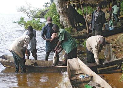 Les pêcheurs du lac Victoria exportent chaque année pour plus de 200 millions de dollars de perches du Nil.