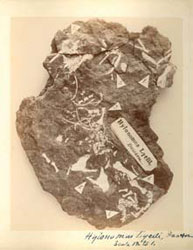 On an 1853 visit to Joggins Fossil Cliffs, Dawson discovered fossils of Hylonomus lyelli, which proved to be key evidence that reptiles, birds and mammals share common ancestry. McGill University Archives (PR016057)