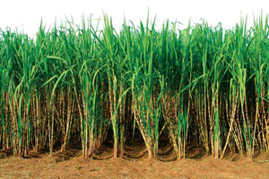 Sugarcane_s
