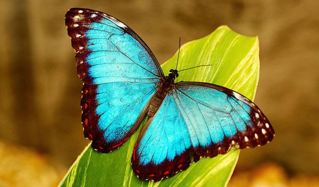 morpho-butterfly.web