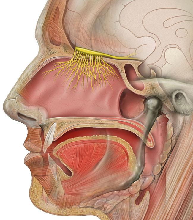 Head_olfactory_nerve-(2)